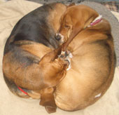 Basset Hounds, Hope and Dill in Yin Yang position